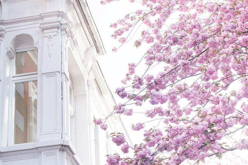 Altbau und Kirschblüte in Bonn