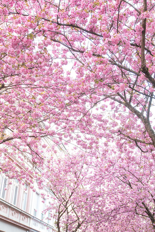 Kirschblüte in Bonn - die Altstadt ist ein Blütenmeer - cherryblossom in Germany