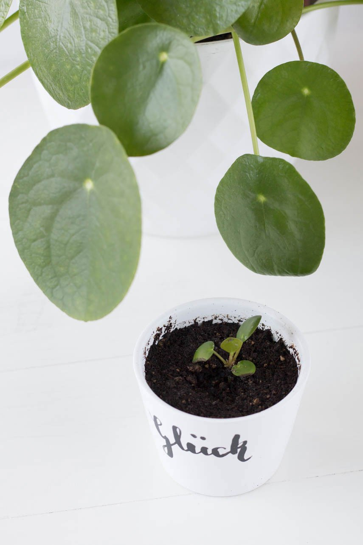 Pilla vermehren - Ableger der Ufopflanze mit DIY Blumentopf